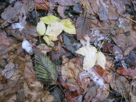 IMG_0601タカノツメの葉