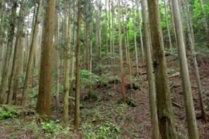 23 人工林 間伐施業後風景