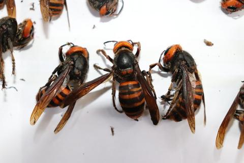 20200609オオスズメバチ