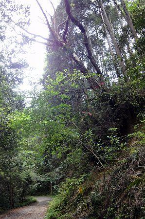林道 コナラ 枯死木