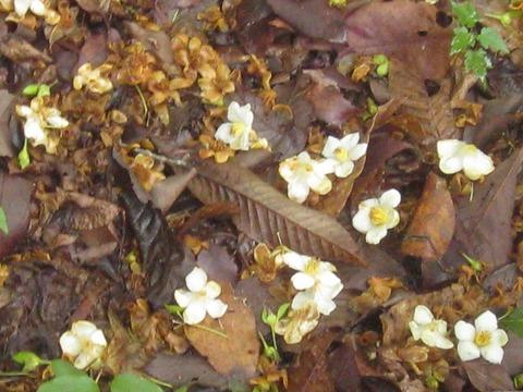 落花したヒメシャラの花