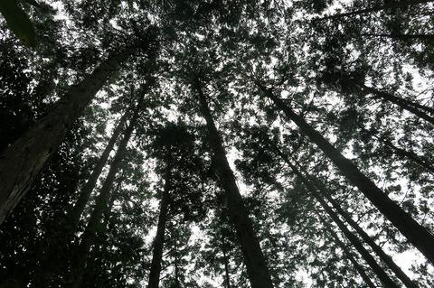 作業予定人工林林冠