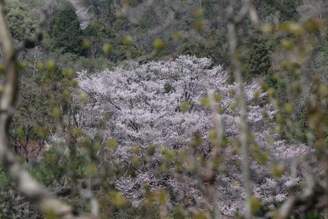 31日山桜コースからのヤマザクラ
