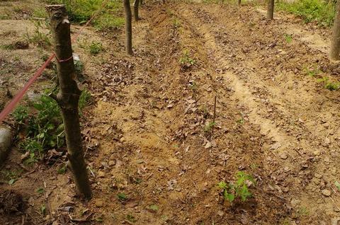 IMGP0079コナラ植栽手入