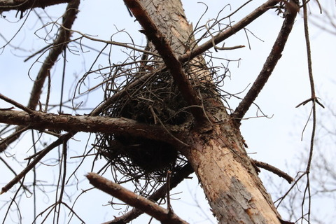 IMG_9424カラスの巣