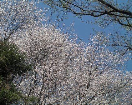 SANY0096 山桜圧縮1