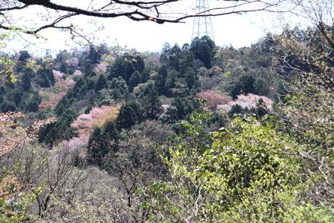 5日雲興寺側からの山桜コース