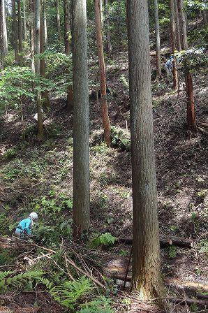 23 集材 人工林