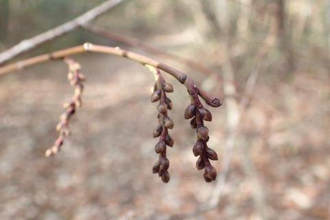 春が待ち遠しい キブシ