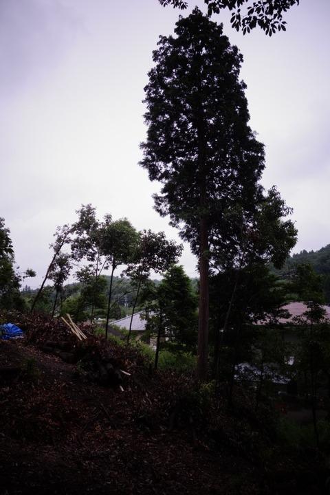 この森の唯一のヒノキの巨木
