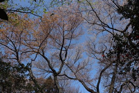 31日山桜コースのヤマザクラ
