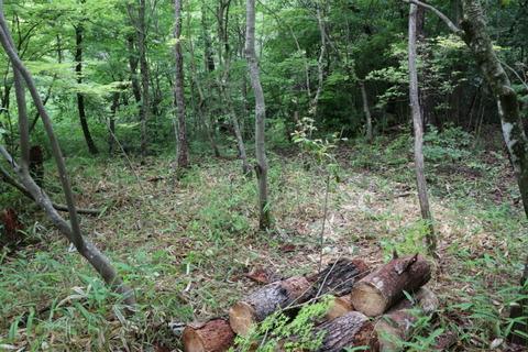 枯損木の伐倒整理