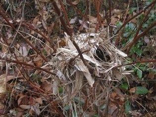 ウグイスの巣 (4)