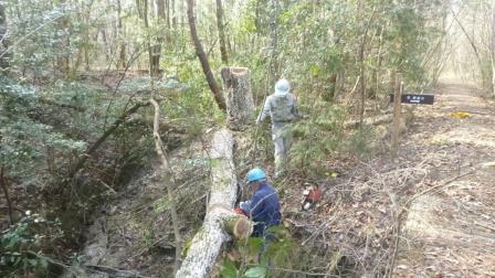 P1000820コナラ大径枯死木伐倒