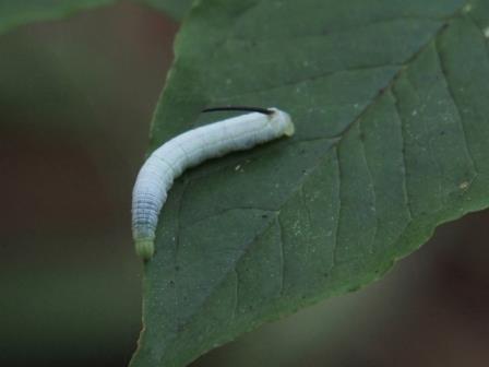 conv0003ハチの幼虫 s