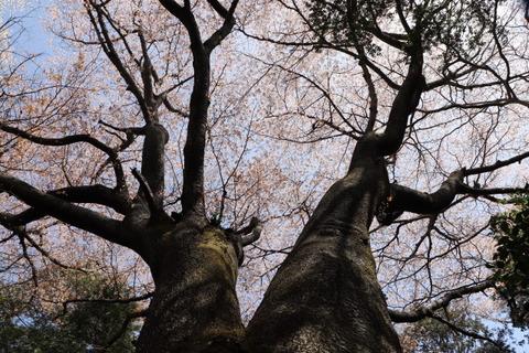 31日山桜コースの巨木②