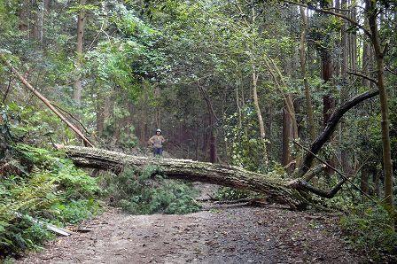 コナラ枯死木伐倒