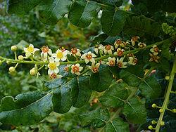 250px-Boswellia_sacra
