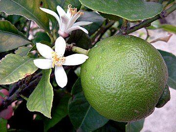 360px-Lime_Blossom_2