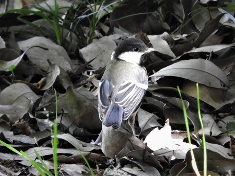 シジュウカラ幼鳥2