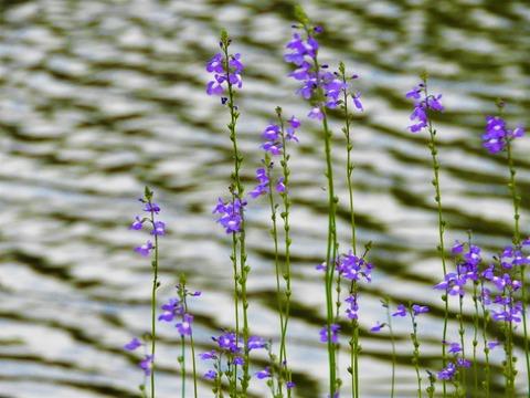 沼と花 (3)