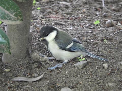 シジュウカラ幼鳥3