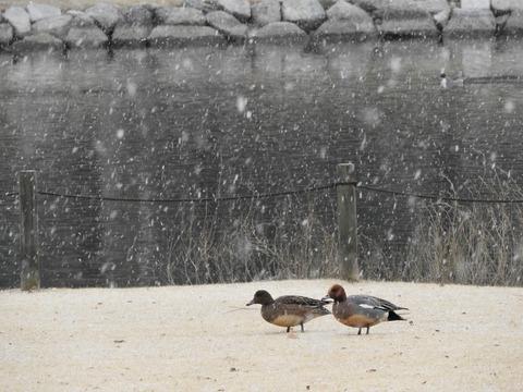 20170120雪とヒドリ