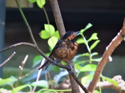 オーストンヤマガラ枝