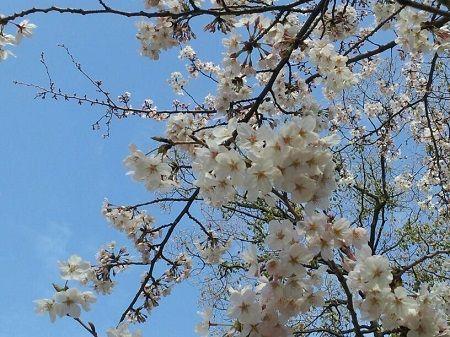 桜20140329