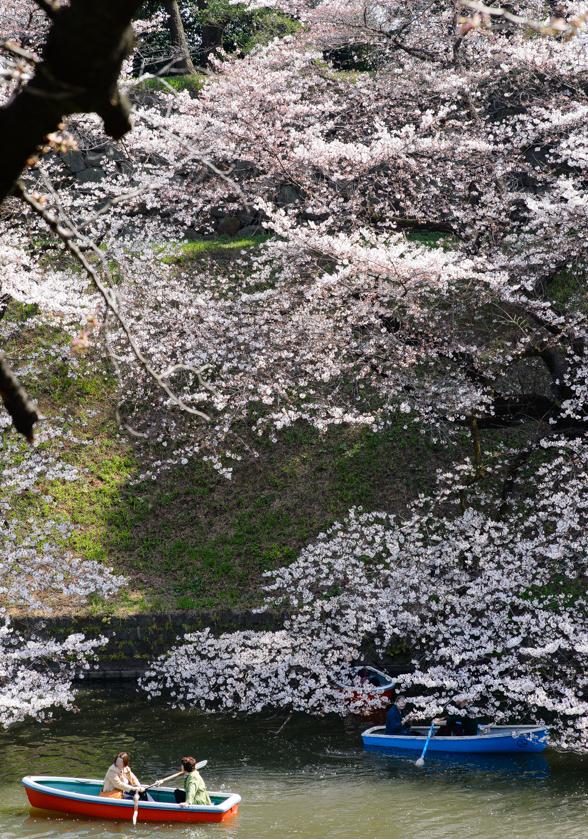見事な枝振りの桜
