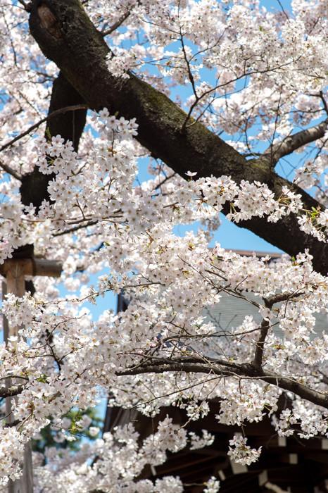 東京都の開花宣言の標準木
