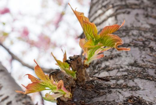 幹からも葉が出てきている