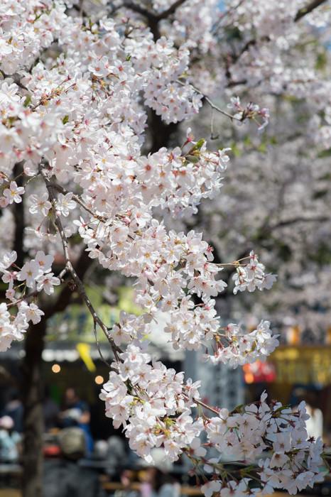 Df と 桜さんぽ