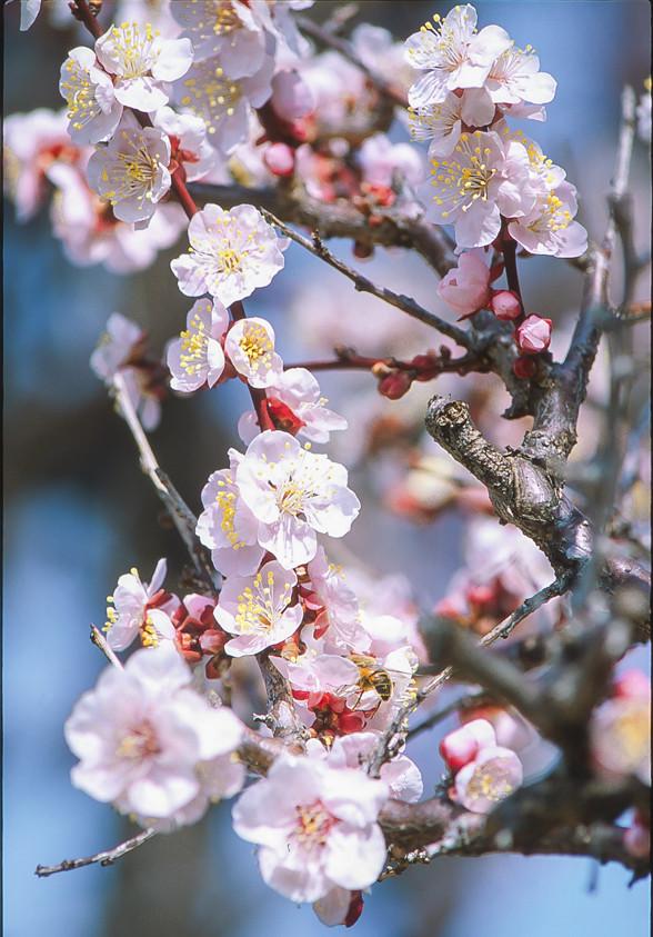 Nikon F3で梅を撮る!