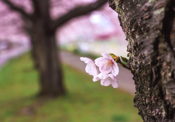 ASAHI PENTAX SL で撮った桜