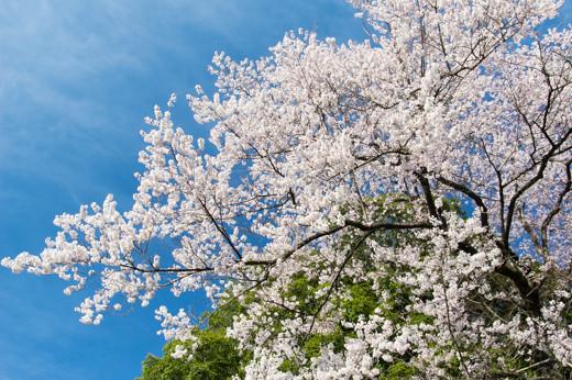 青空と緑と桜