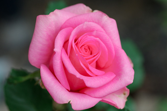 バラがキャベツになった そしてレンズが・・・