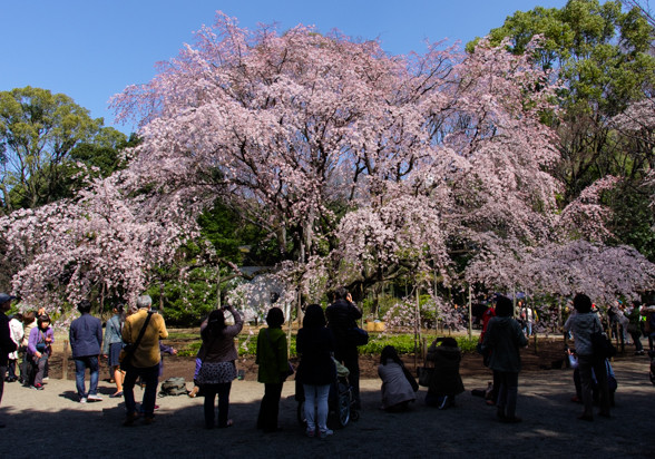 六義園の枝垂れ桜 ~昼間バージョン~