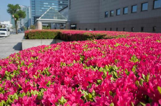 横浜美術館、駐車場のツツジ