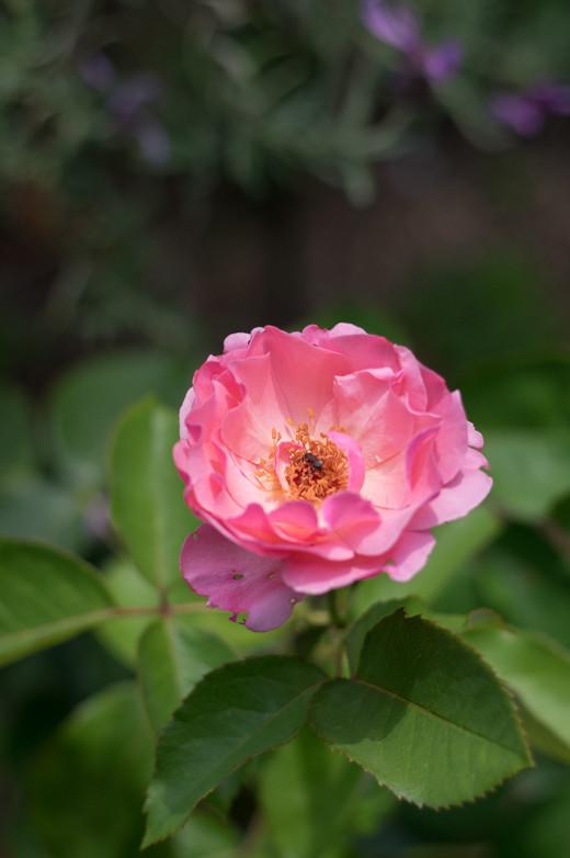 今年、知り合いからいただいた鉢植えのバラ