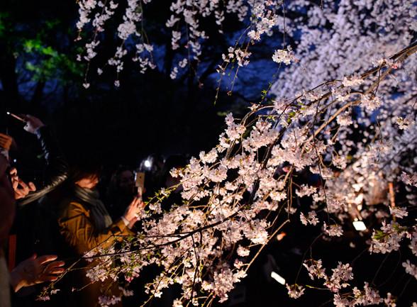 六義園の枝垂れ桜 ライトアップ