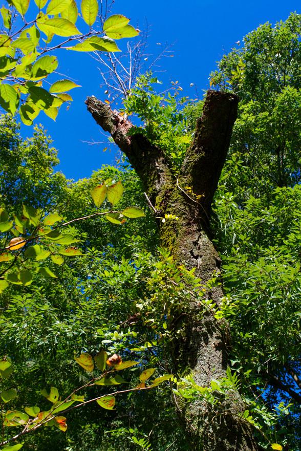 ピースの木