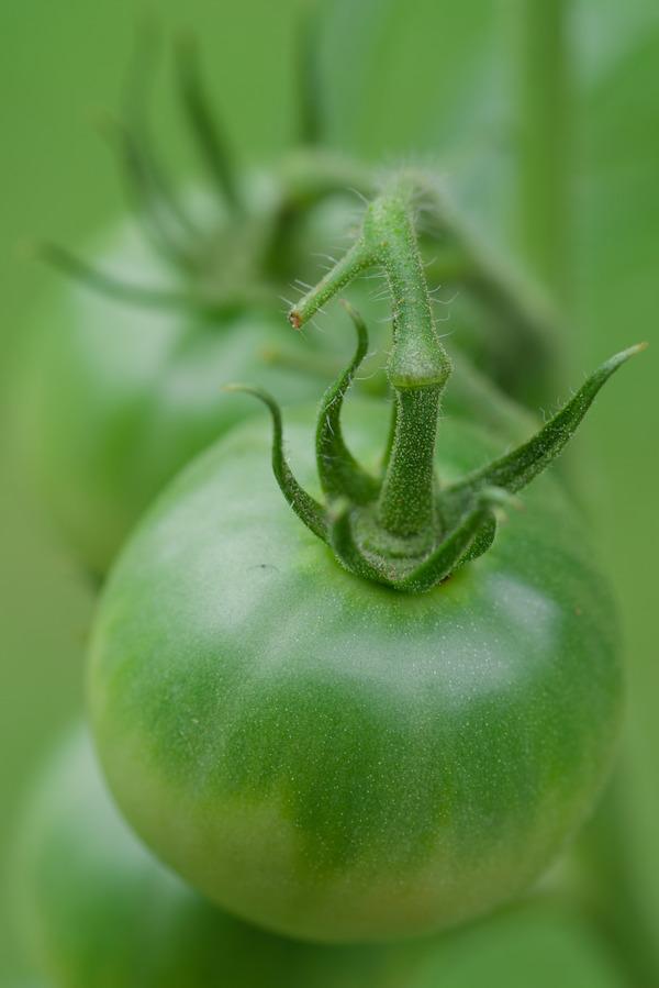 青いトマト