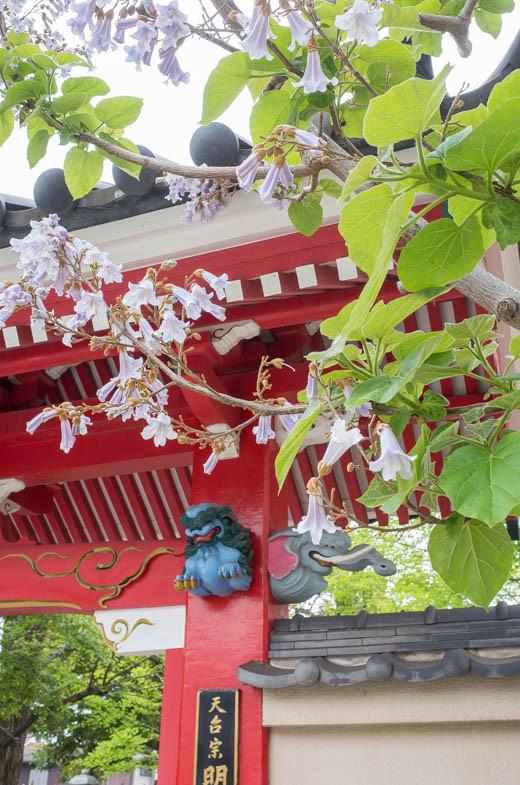 途中の明長寺の桐の花