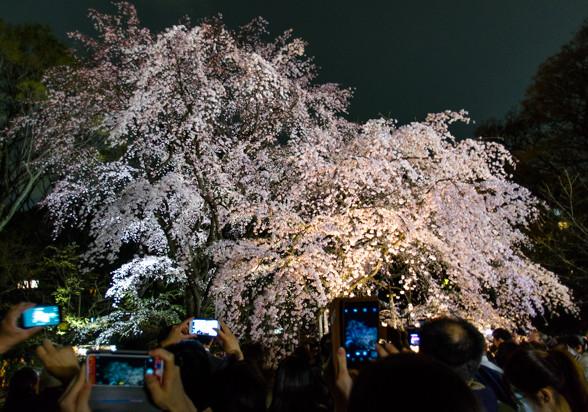 六義園の枝垂れ桜 ~ライトアップバージョン~