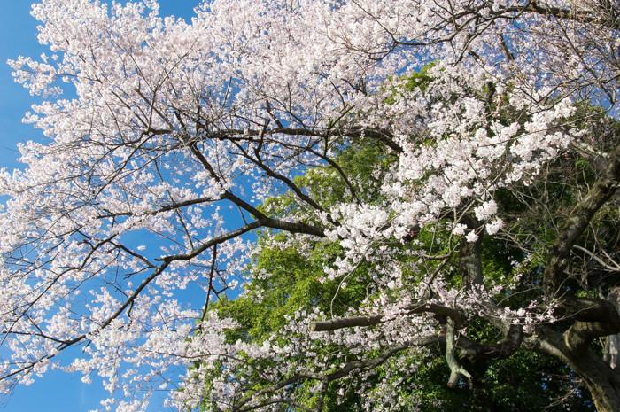 桜を撮ったり、HDDを破壊したり
