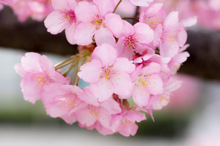 桜はまだかいな・・・と思ったら