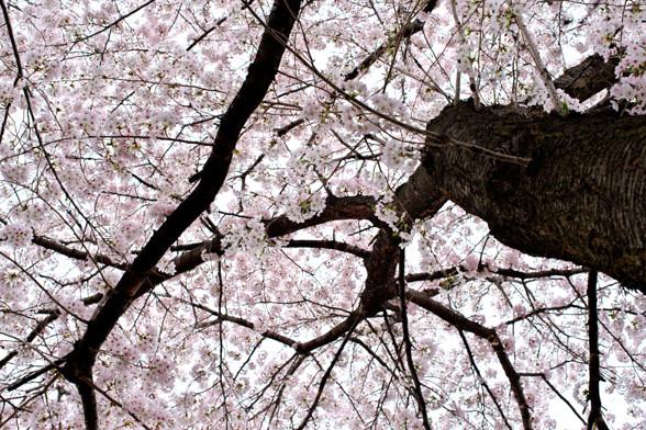 PENTAX K-1で桜を撮る!