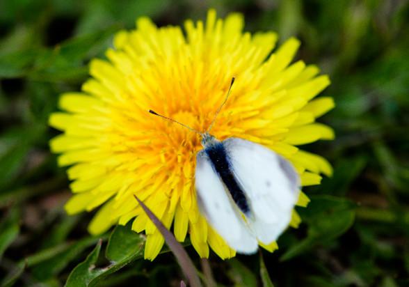 Df で撮った 黄色い花と、気になる ツイートの紹介