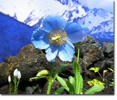 blue-poppy-1s